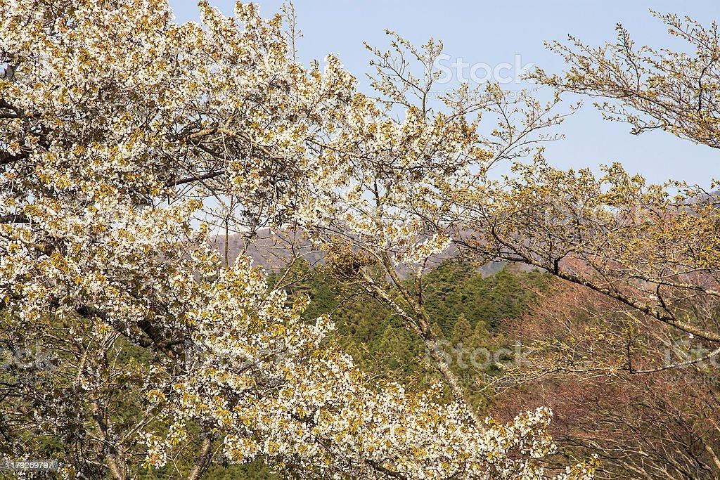 Sakura branch royalty-free stock photo