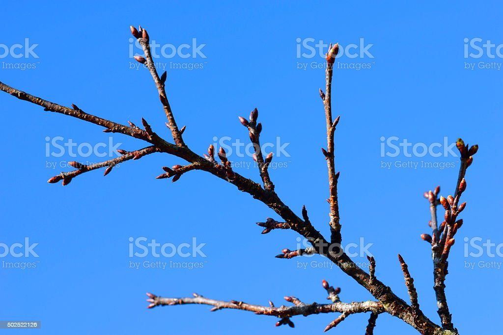 Sakura.  Branches with flower buds waiting to bloom royalty-free stock photo