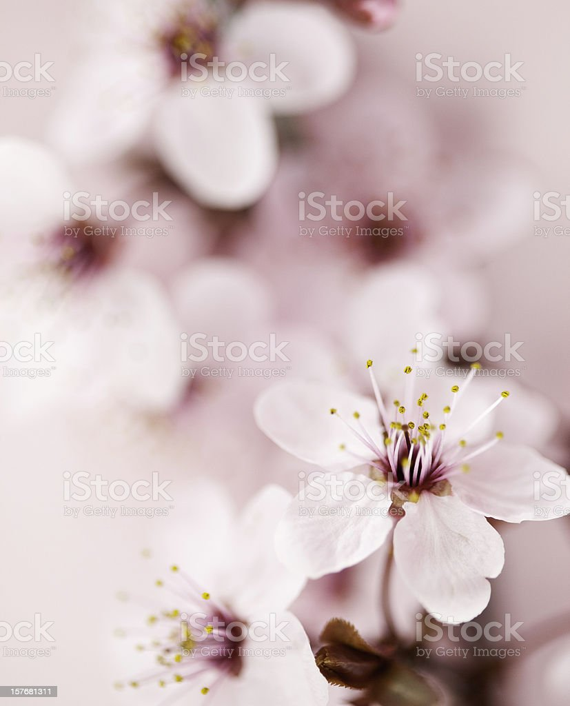Sakura Cherry Blossom royalty-free stock photo