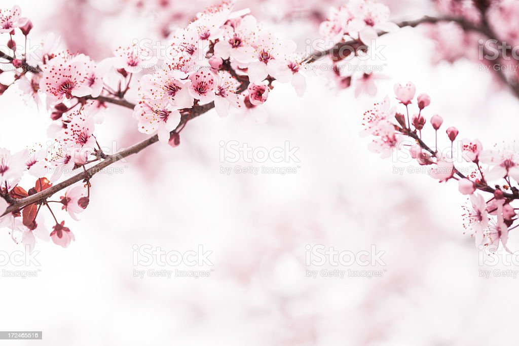 Sakura Cherry Blossom stock photo