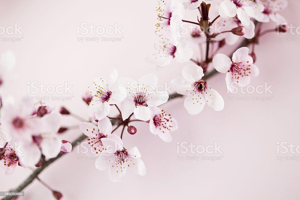 Sakura Cherry Blossom stock photo