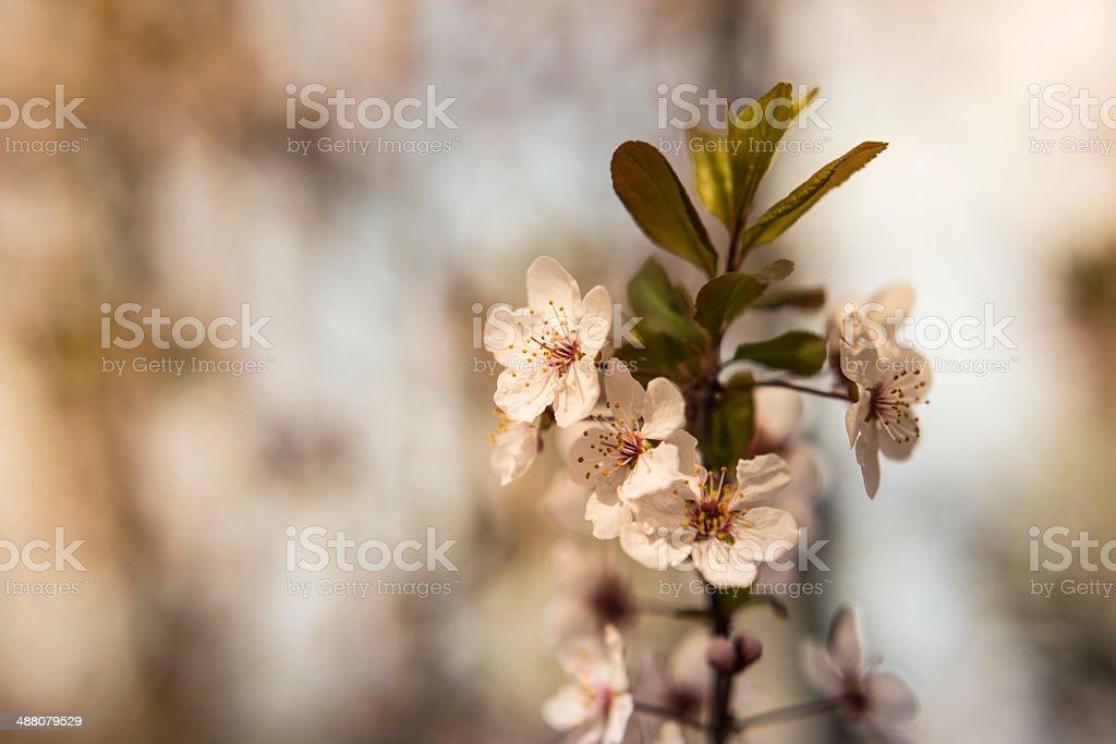Sakura Cherry Blossom royalty-free stock photo