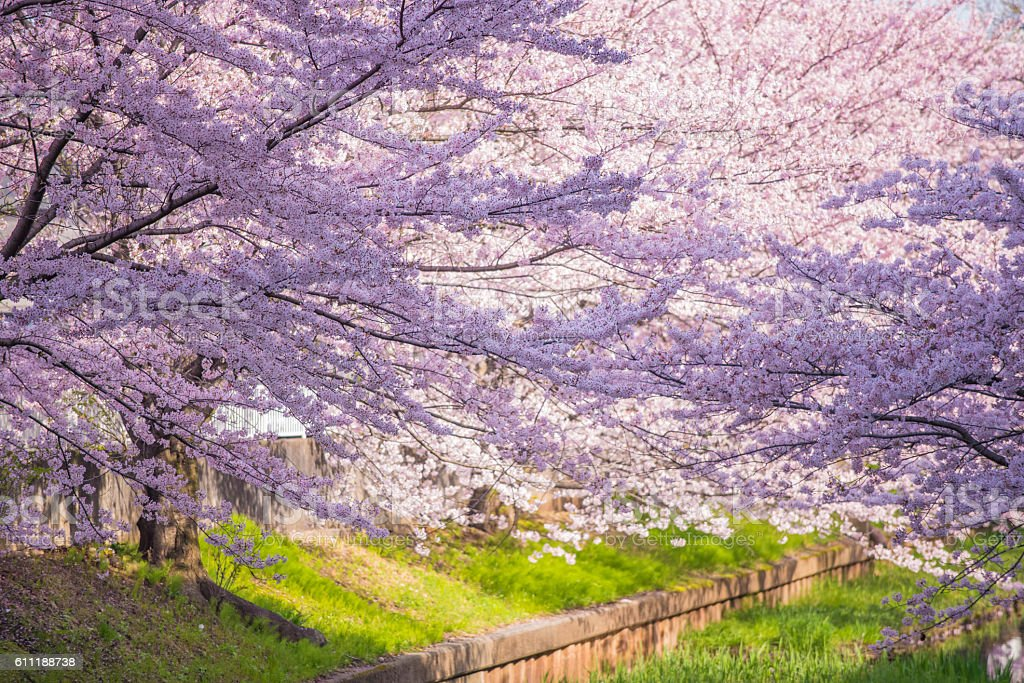 'Sakura' Cherry Blossoms at the riverside stock photo