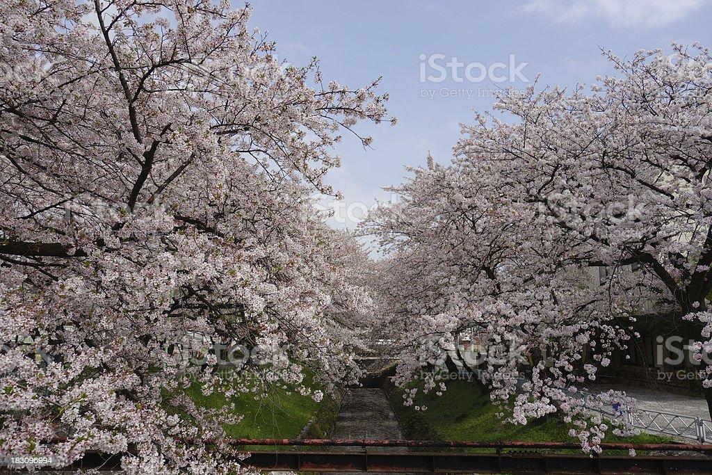 Sakura Cherry Blossoms Park royalty-free stock photo