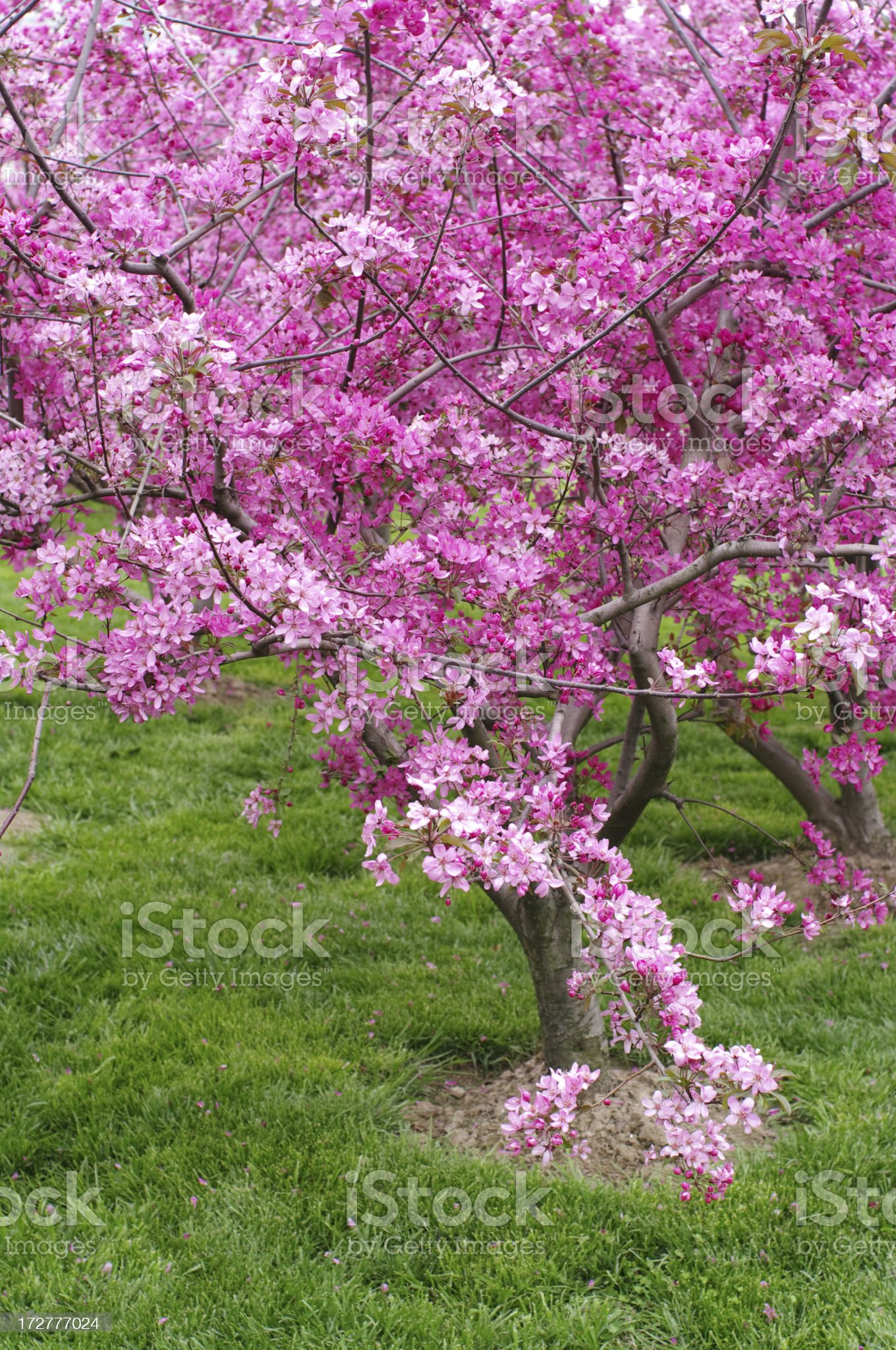 Sakura Cherry Tree royalty-free stock photo