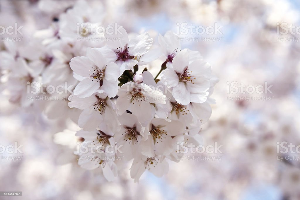 Sakura closeup royalty-free stock photo