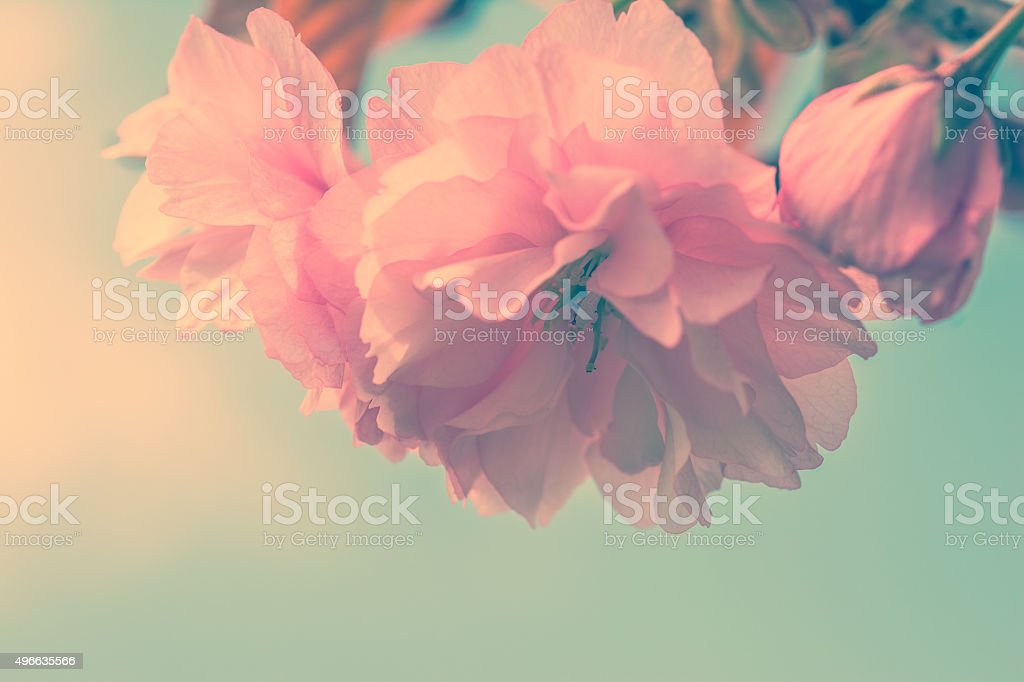 Sakura flower cherry blossom. stock photo