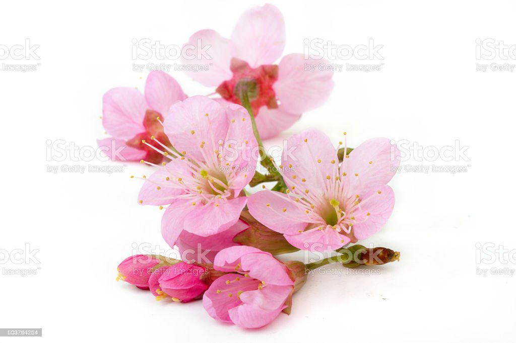 Sakura flower isolated stock photo