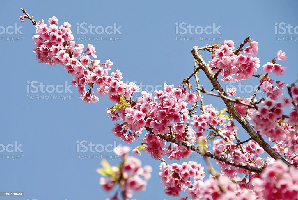 Sakura flowers blooming blossom royalty-free stock photo