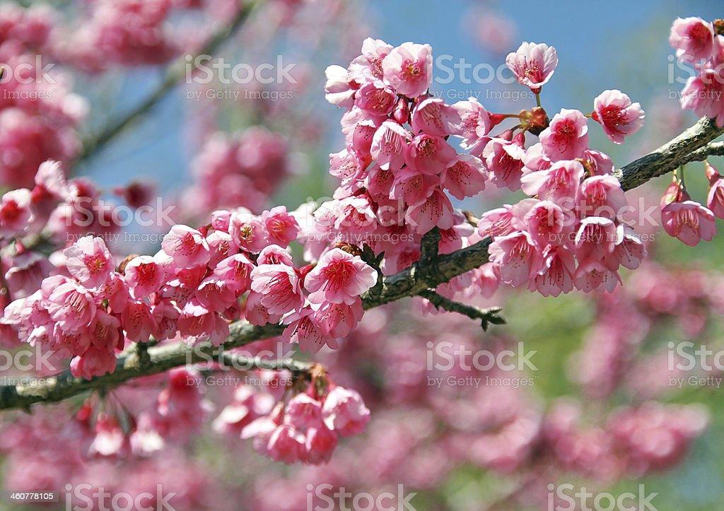 Sakura flowers blooming royalty-free stock photo