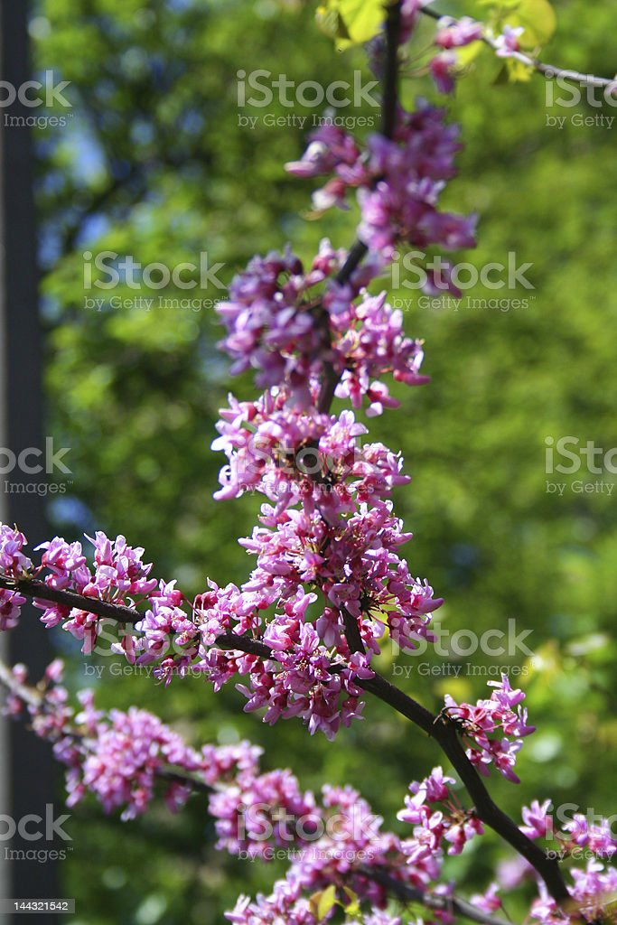 sakura Flowers royalty-free stock photo