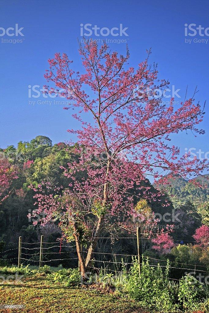 Sakura flowers royalty-free stock photo