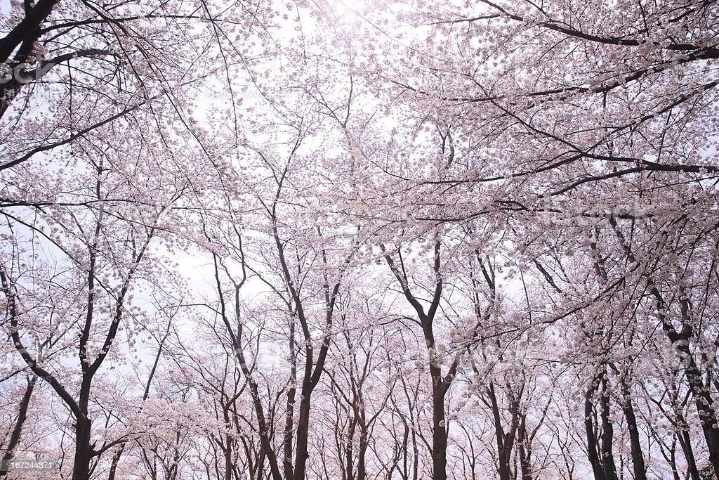Sakura full bloom royalty-free stock photo
