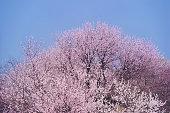 Sakura in Beijing Summer Palace