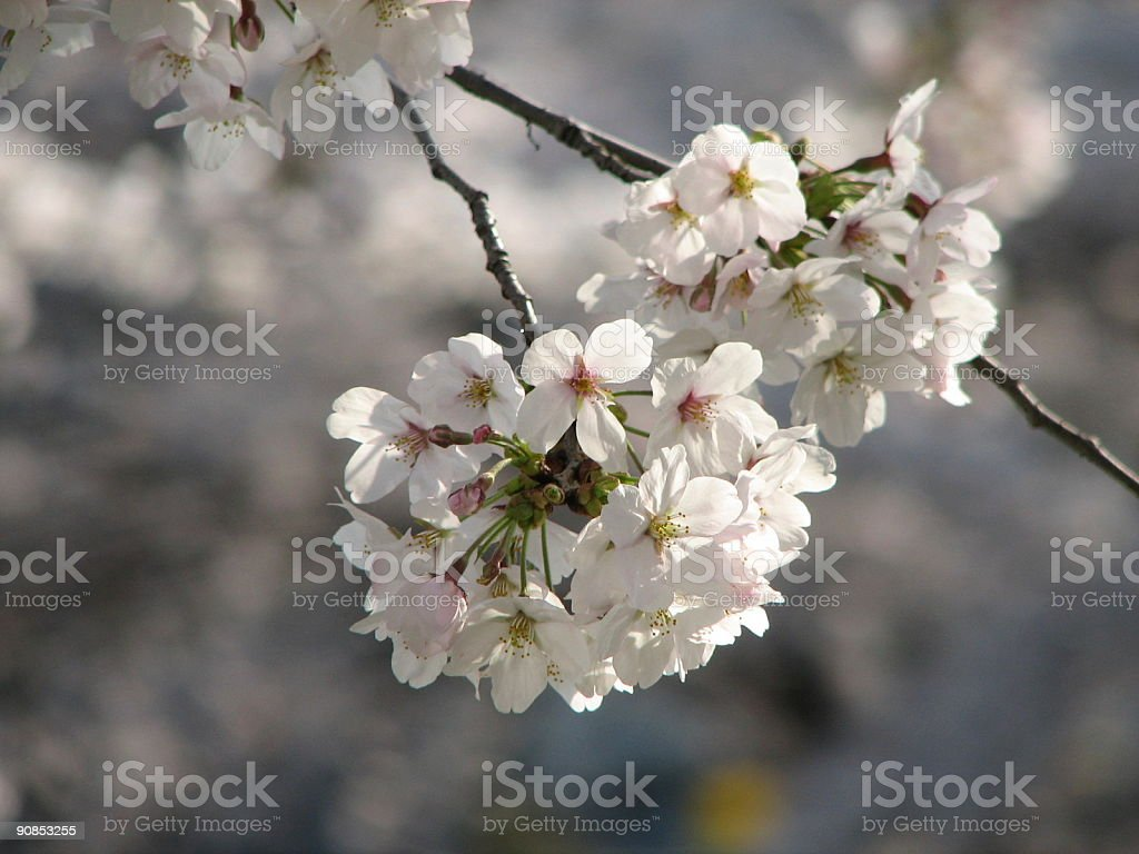 Sakura in Bunch royalty-free stock photo