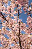 Sakura (Kawazu Sakura) in Japan