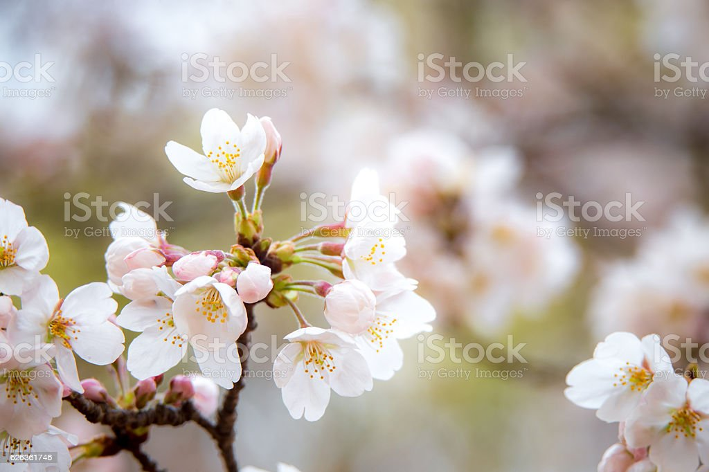 Sakura (Yoshino cherry tree) in Japan stock photo