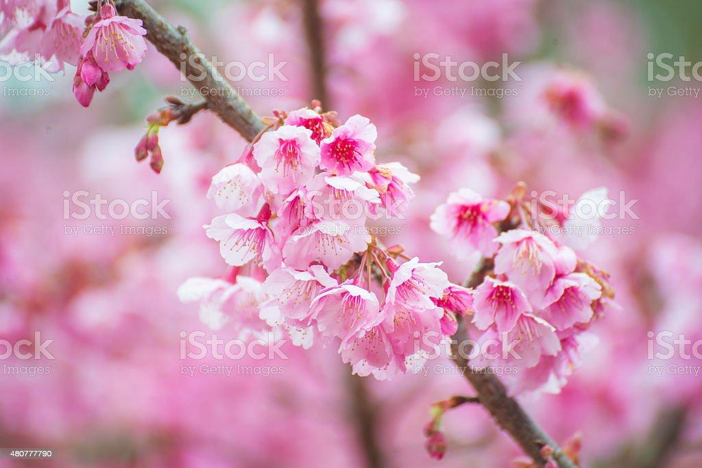 sakura in Thailand beautiful pink flower stock photo
