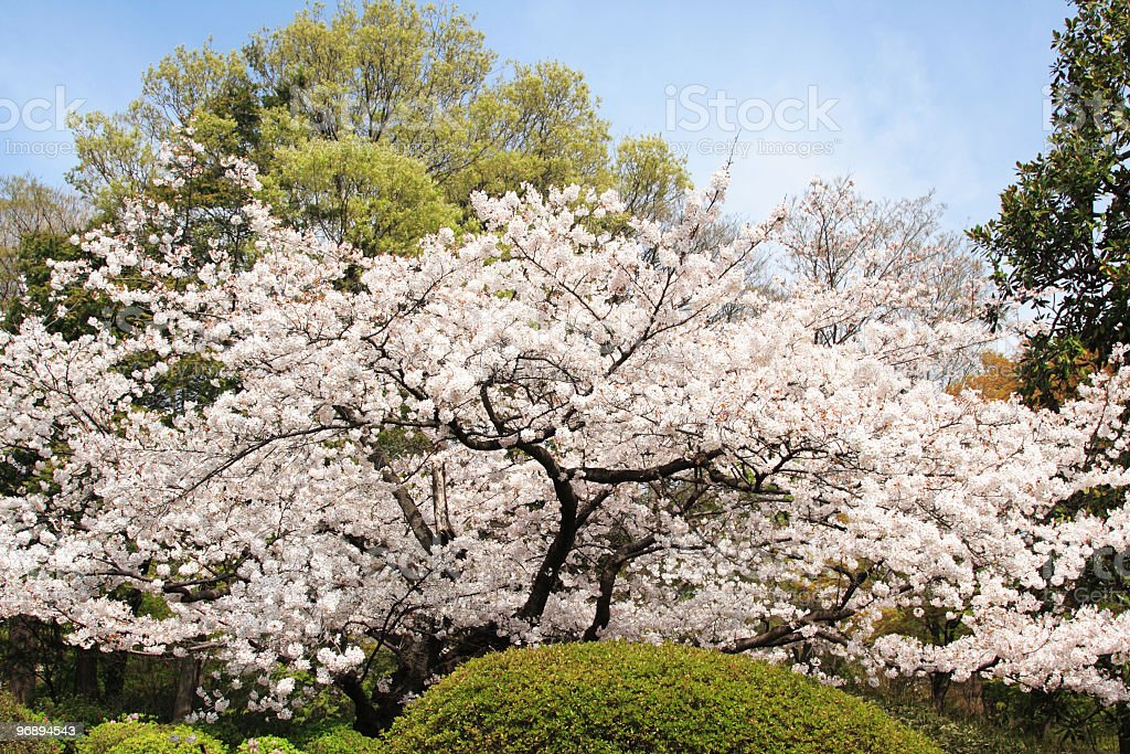 Sakura, japanese cherry blossum. stock photo