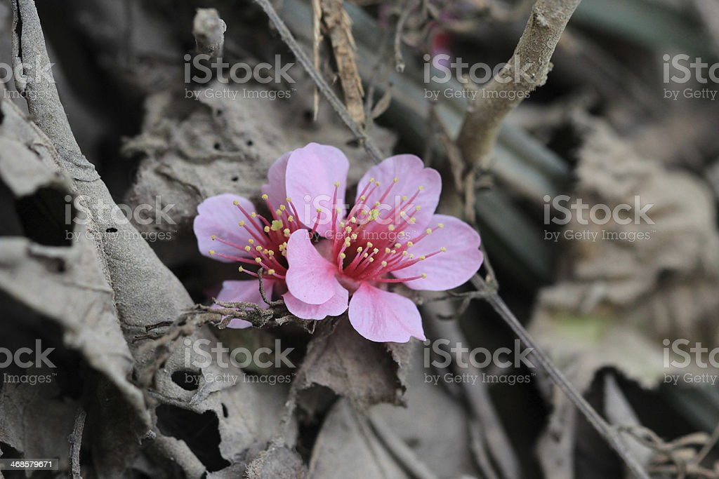 Sakura on dry leave in forest stock photo