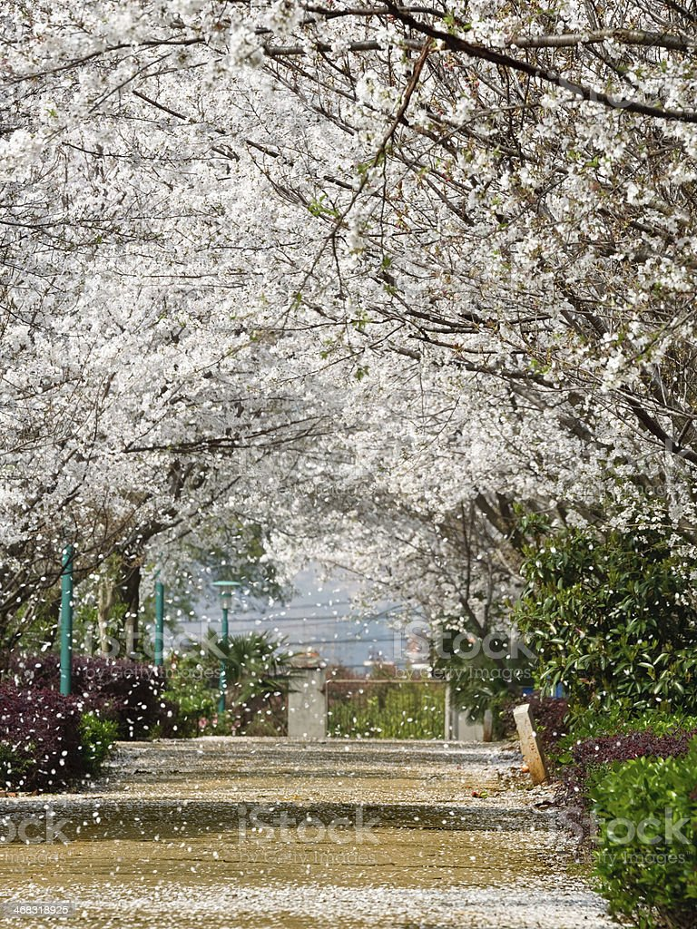 Sakura path stock photo