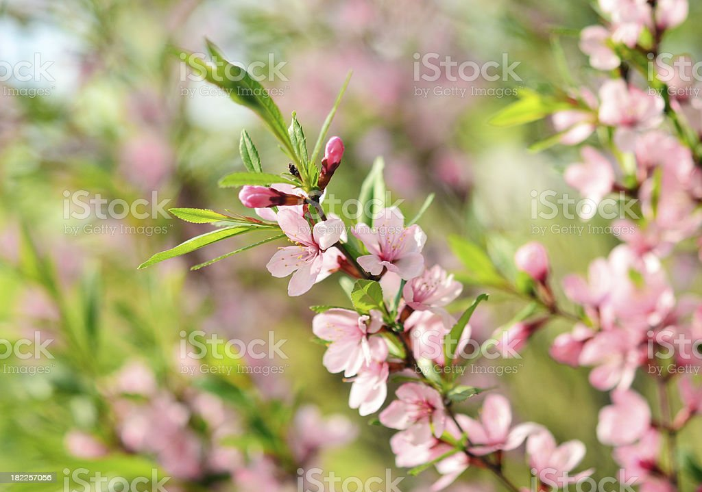 Sakura royalty-free stock photo