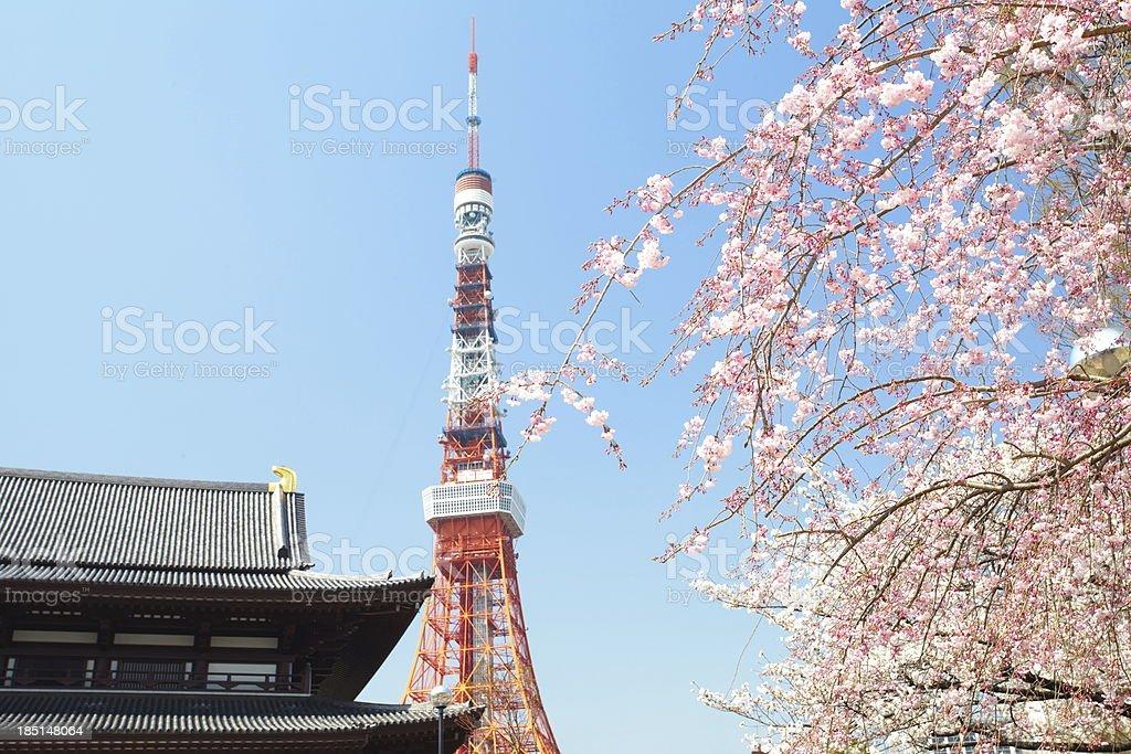 Sakura (Japanese Cherry Blossom) stock photo
