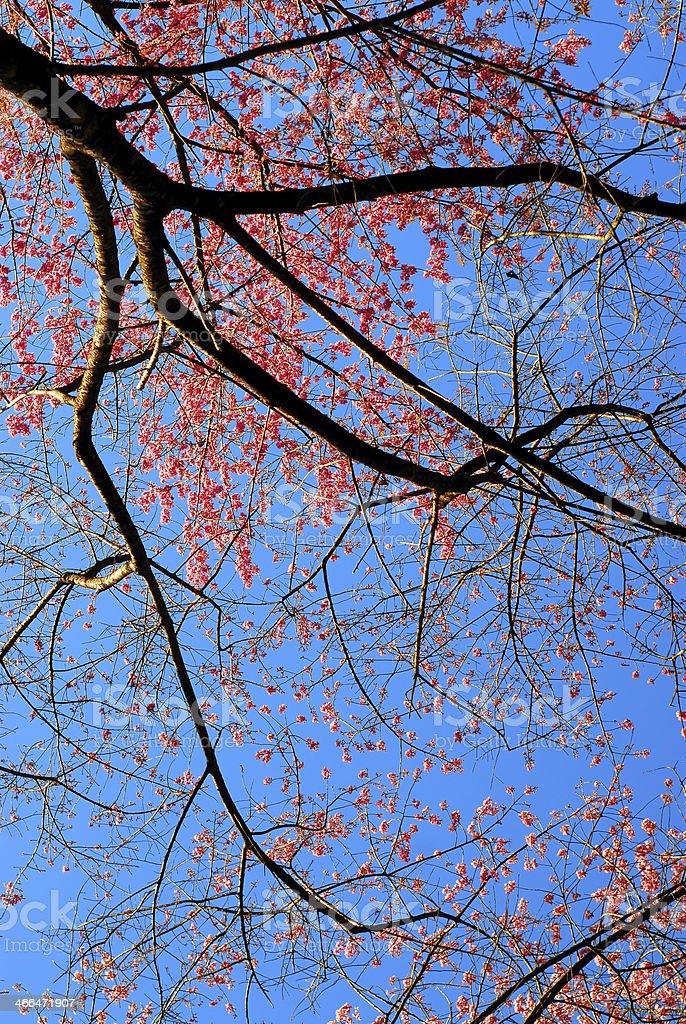 Sakura zbiór zdjęć royalty-free
