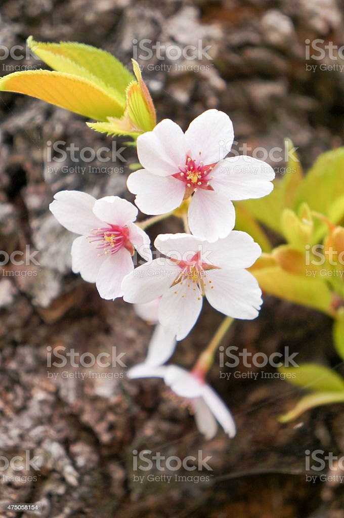 Sakura (Cherry blossom) stock photo
