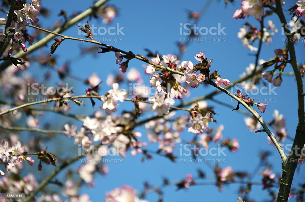 Sakura foto de stock royalty-free