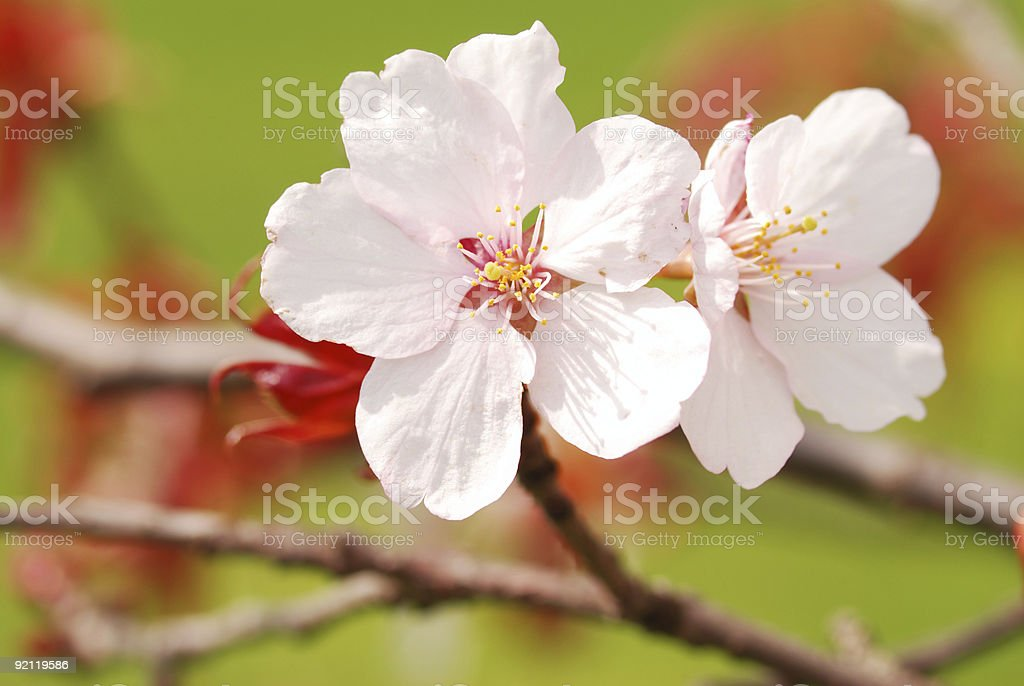 Sakura royalty-free stock photo
