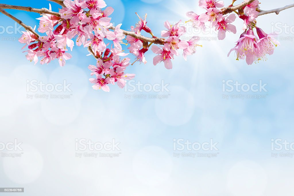 sakura pink flower stock photo