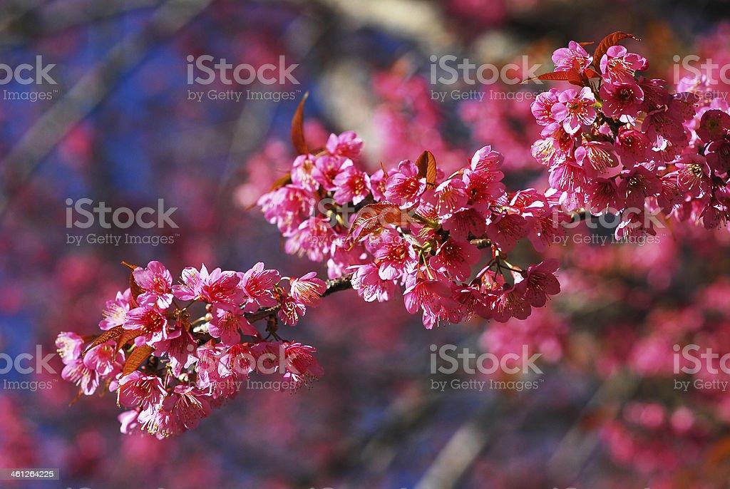 Sakura różowy zbiór zdjęć royalty-free