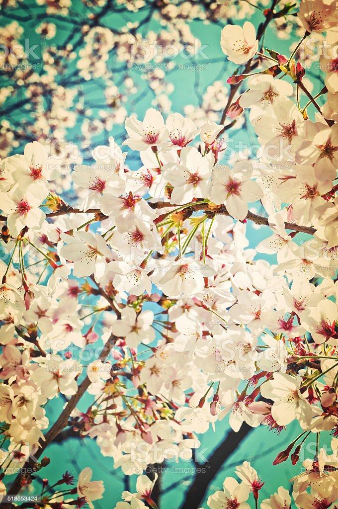 Sakura tree flowers background stock photo