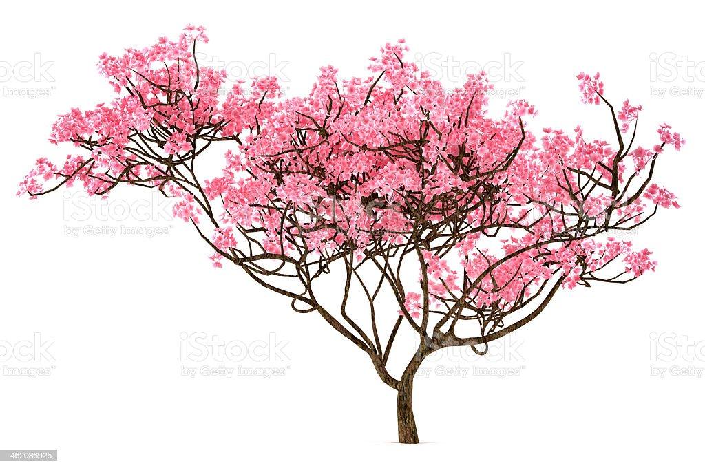 A Sakura tree isolated on a white background stock photo