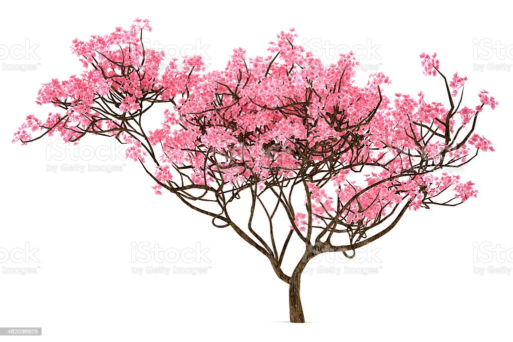 A Sakura tree isolated on a white background stock photo