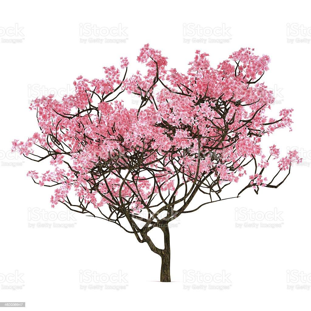 Sakura tree isolated stock photo