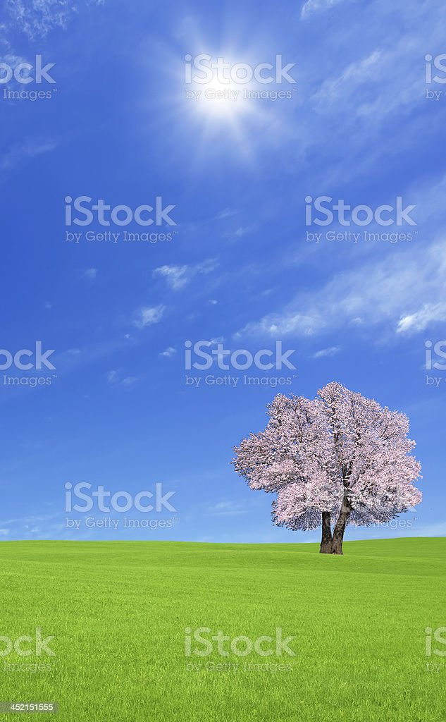 Sakura tree on the green hill. royalty-free stock photo