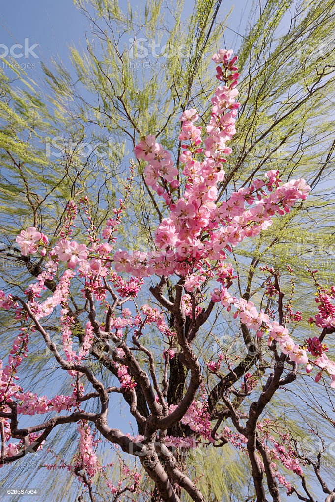 Sakura underneath a large weeping willow tree in spring stock photo