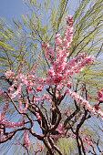 Sakura underneath a large weeping willow tree in spring