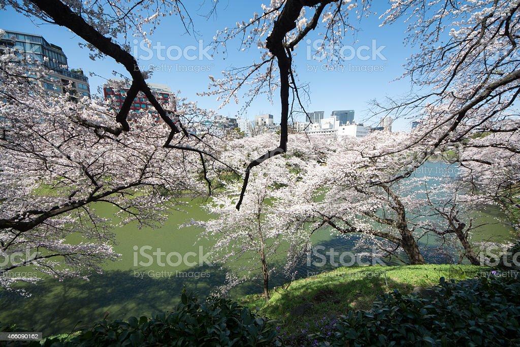 sakura wide angle royalty-free stock photo