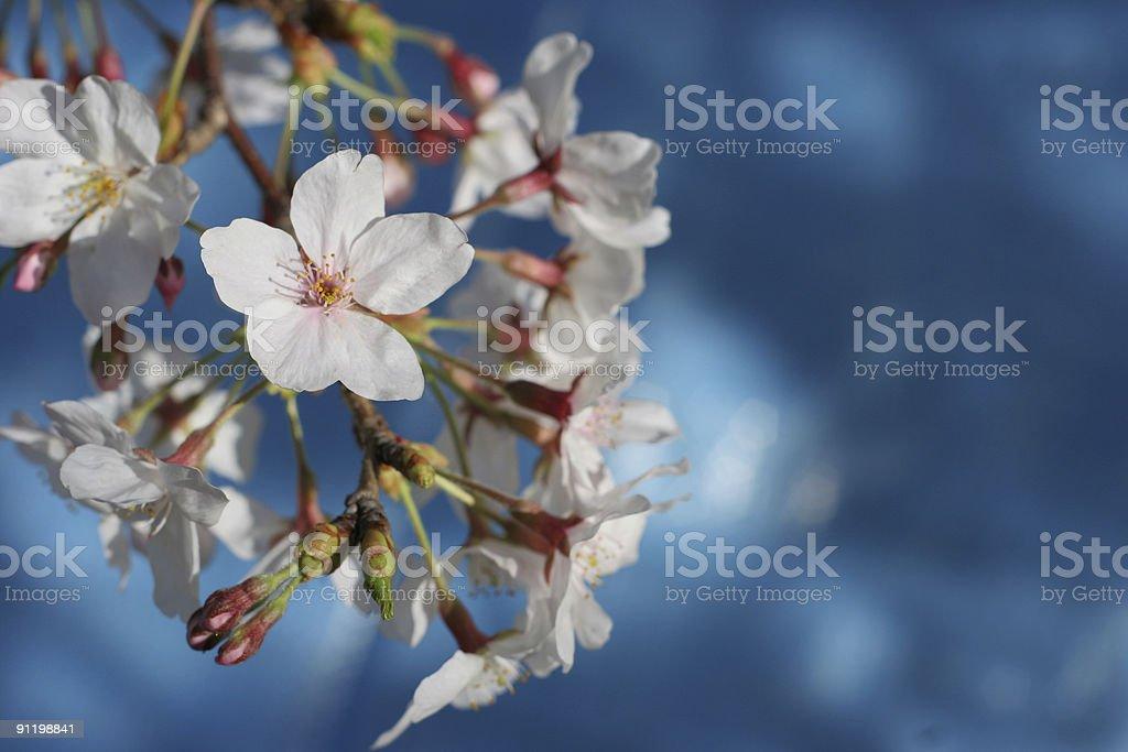 Sakura with blue background royalty-free stock photo