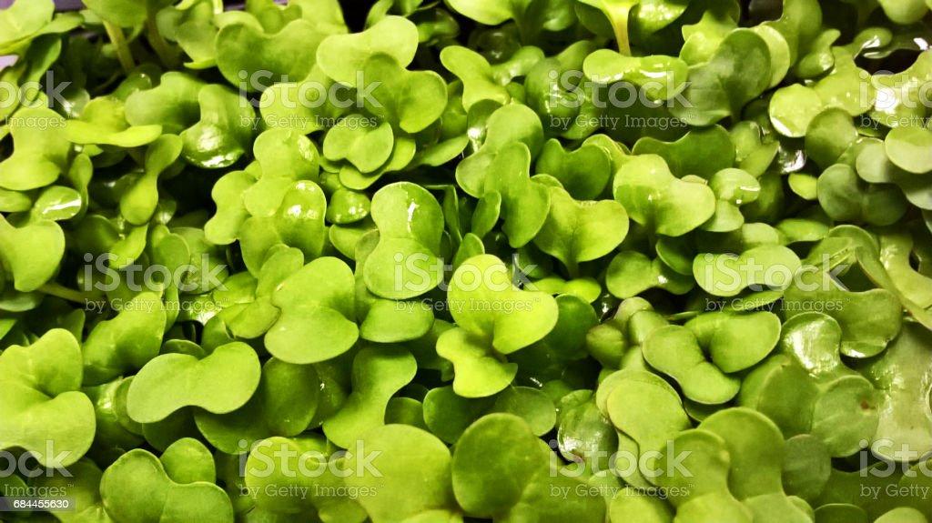 Salad cress - food close-up stock photo