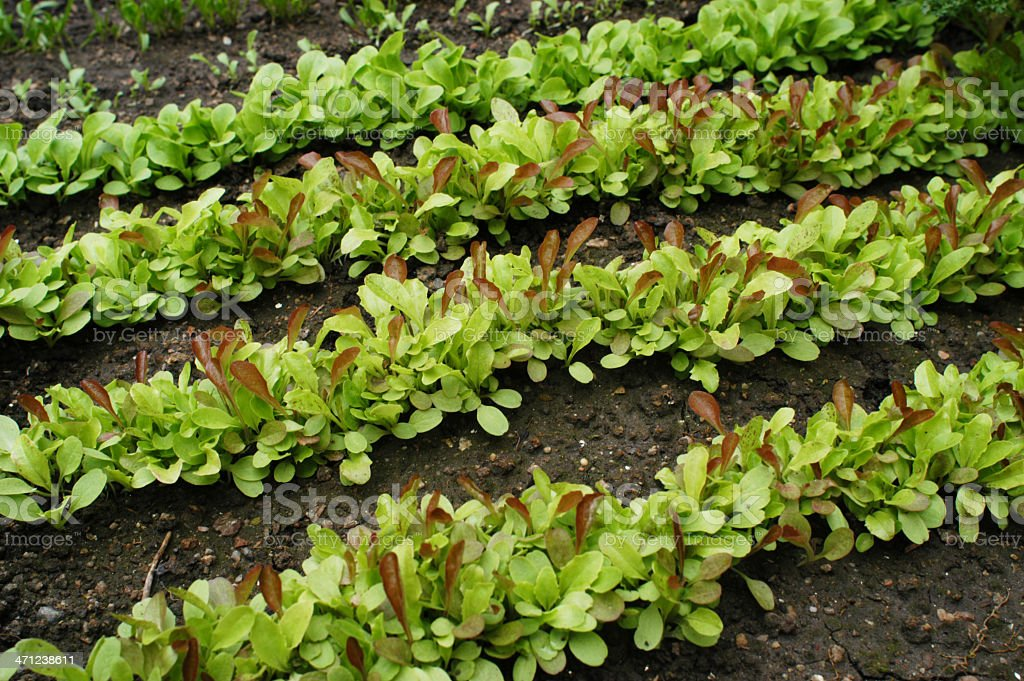 Salad Greens Growing in a Garden royalty-free stock photo