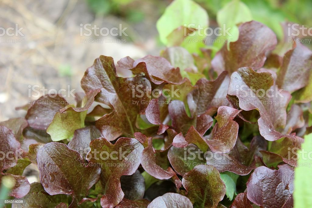 Salad growing in orchard stock photo