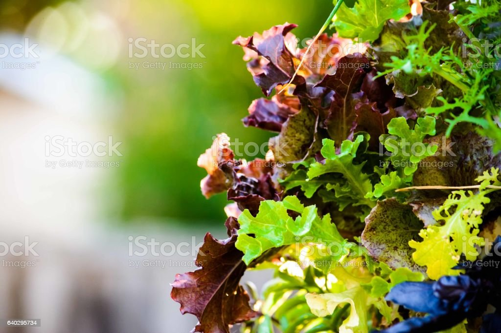 Salad Leafy Greens, Red Lettuce and Arugula Close Up stock photo