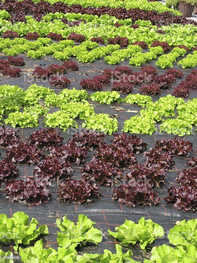 Salad Patch stock photo