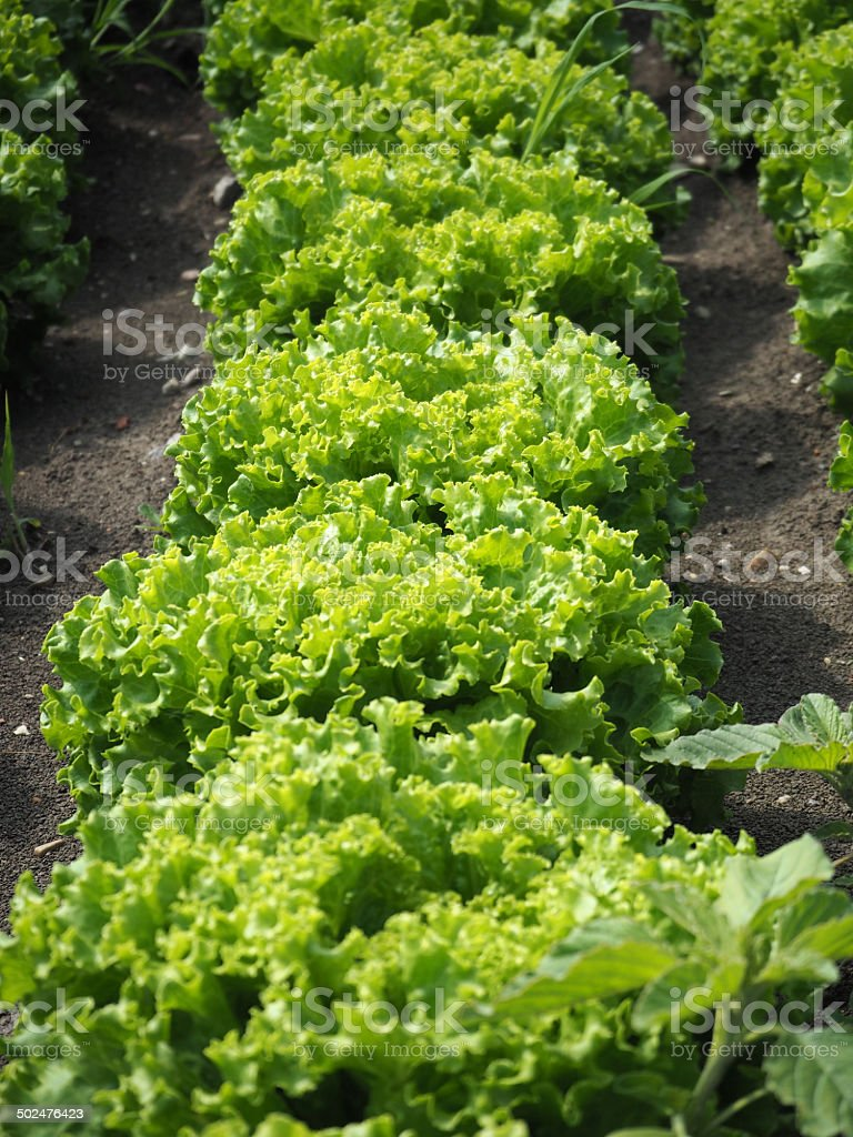 Salad royalty-free stock photo