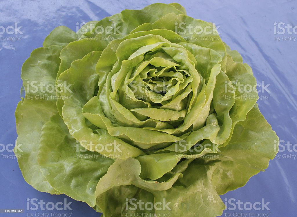 Salad,Head of Lettuce stock photo