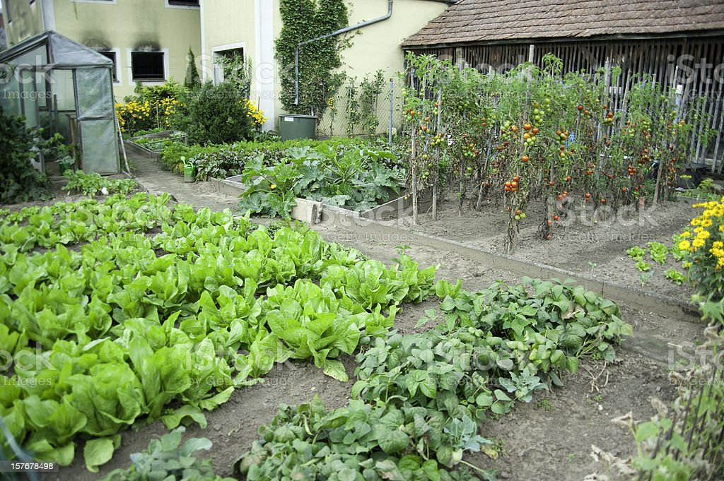 salads field in garden - Salat selber anbauen royalty-free stock photo